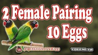 2 female lovebirds pair and lay 10 eggs. Video No 238