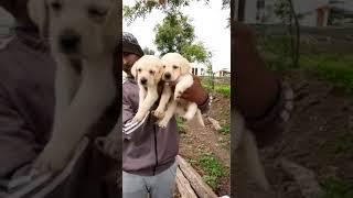 LABRADOR female Puppy show quality