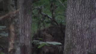 Female Bigfoot Leaning back Kissing Her Man 6-29-18