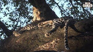 Female Leopard Jumps Out Of A Tree To Join A Male