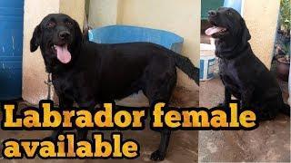 Labrador female for sale