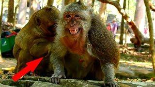 MG!Why Female Tima Monkey Angry With SP Monkey, Cause Of Eating Much Can Make SP Belly Very Big