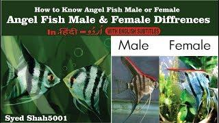 Angel Fish Male Female How to tell the difference between male and female angelfish