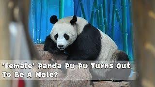 'Female' Panda Pu Pu Turns Out To Be A Male | iPanda