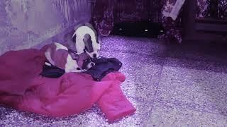 Show Quality  4.5 months oldFrench bulldog female