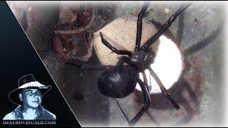 Black Widow Spider Incubating 01