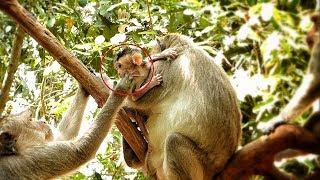 Update today at Angkor, female monkey visiting & touching beby Lora as she being in hands of Leyla