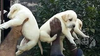 9212 501 257 show quality Labrador male and female puppies for sale in Delhi Dwarka Pet Shop dog ken