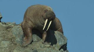 Walruses Seen Falling to Their Deaths in Netflix Docu-Series