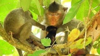 Female Monkey Blacky Sleep Well, Baby Monkey Janet Play With Tarzana Monkey
