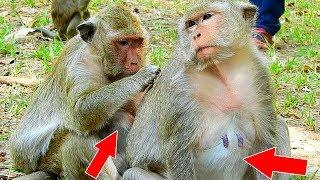 WOW! Two Female Monkey Popeye&Dolly Has Pregnant, Who Has Newborn Baby First