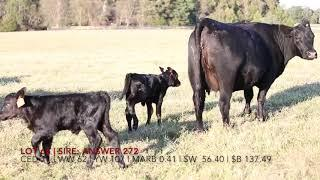Edgewood Angus Female Video