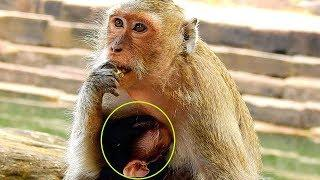 Female Monkey Blacky Feeding Her Baby Near Pool, Poor Barbi Monkey Drink Milk&Sleep Well