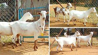 Sold out: Barbari female goats