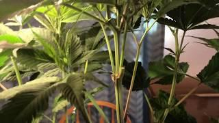 Quick Video On Cannabis Sexing - Difference Between Male & Female Sex