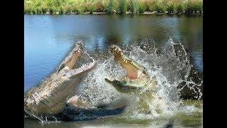 RARE Two Huge Crocodiles fight it out for a Female