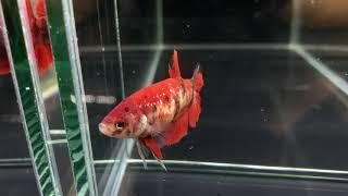 Hmpk31 female koi red 50 pln (sold out)