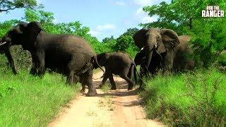 Elephant Herd Show Aggression Before Crossing The Road