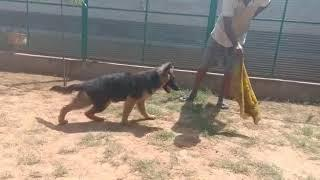 Show Quality German shepherd male and female available with KCI paper