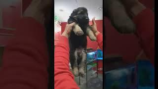 Show quality German shepherd male female puppies r sell
