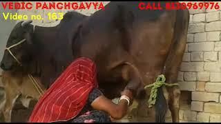 (163) काली कपिला गाय # बछड़ी Female calf # sold out