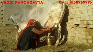 (129) Pure Tharparkar Cow  # Female Calf बछड़ी # Sold out #  Call @ 8130969976