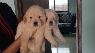 ARM DOG KENNEL : Show Quality  Golden Retriever Female Puppies Available for sale Contact.7775051999