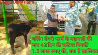 ????ONLY 42 Days : Female Calf Of ????Mahabali Sale Out On Rs.1.50000 ????Buyers From ????️Himachal