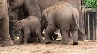 Elephant Calves Push Each Other Out Of The Way To Suckle