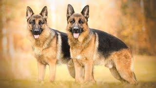 The Difference Between Female and Male German Shepherds