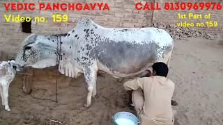 (159) Tharparkar + Rathi Mix Cow # SOLD OUT # Female calf #12 litre milk Ready#