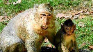 Female Monkey Tima Eat Fruit, Baby Monkey Timo Is Playing With Plastic