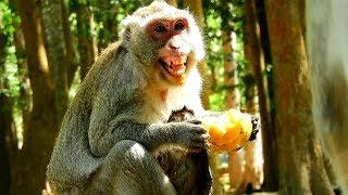 Why Female Monkey Has Out Teeth Like That, Out Teeth Cause Of Protection Her Food And Her Baby