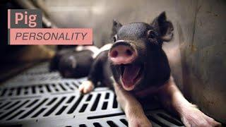 Pig Personality - A Closer Look at Farm Animals