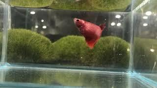 Hm 6 red  female 25 zł SOLD OUT