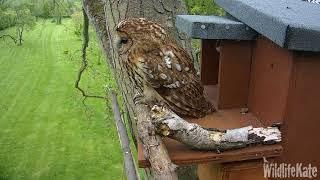 15 Female outside, owlet looking out 26th April converted