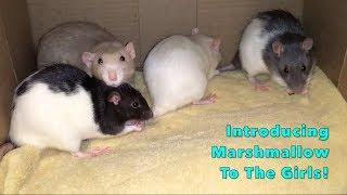Introducing Marshmallow (Neutered Male Rat) To My 5 Intact Female Rats!