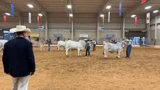 2018 ABBA National Brahman Show Gray Females Grand Champion Drive