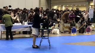 2018.12.16 FCI Tokyo International Dog Show Scottish Terrier Female