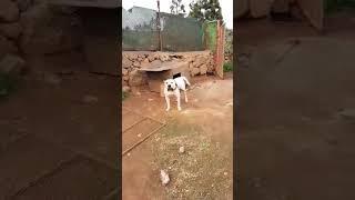 Very agresive white female presa canario for sale