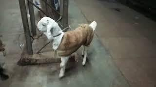 Cute Jamnapari female SOLD OUT, R.K Brother Goats Farm Etawah U.P, Whatsapp Contact no-8057106851