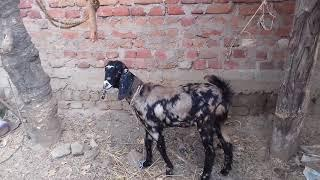 Warsi goat farm new entry sirohi female for( sold out) 7360807608