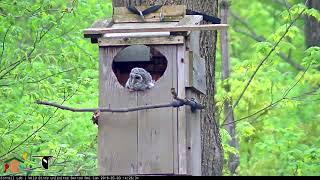 Female Joins Owlet At Nest Box Entrance – May 3, 2019
