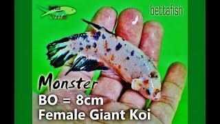 Female Giant Betta Koi Fancy BO=8cm, biggest and monster series,...