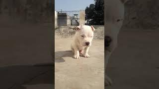 Pitbull female.show quality..for sale 9911930802
