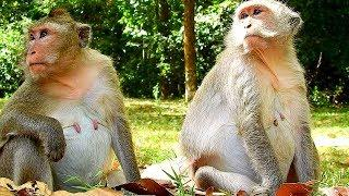 Season Female Monkey Got Pregnant, Will Have Many Baby Monkey Was Born Soon