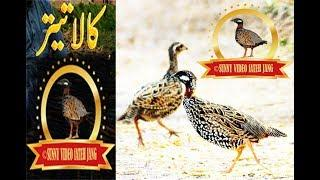 Black Francolin Female {Hunting} Grey francolins shikar Sunny Video Fateh Jang