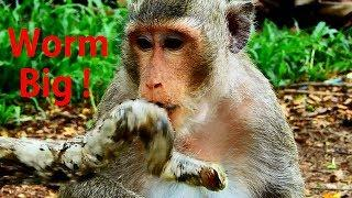 OMG Why Monkey Like Eating Worm/ Female Monkey Vs Worm