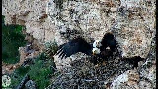 AZGFD Bald Eagle Cam ~ Female Eagle Shows Dominance ~ Delivers A Side Kick To Male 1.17.19
