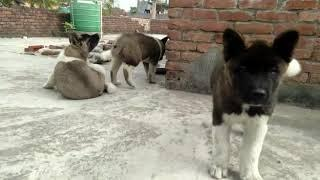 Show quality Akita puppies for sale male -45k, female-40k location Delhi 9671894589